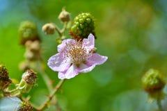 Brombeerstrauchblüte Lizenzfreies Stockfoto