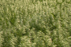 Brome grass background Stock Photos