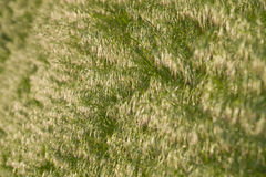 Brome grass background Royalty Free Stock Photography