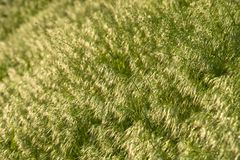 Brome grass background Royalty Free Stock Images
