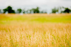 Brome hay field Stock Image