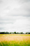 Brome hay field Royalty Free Stock Photos