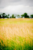 Brome hay field Royalty Free Stock Image