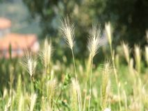 Bromegrass stock footage