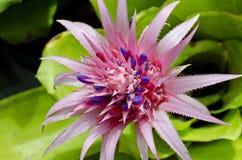 Bromeliácea cor-de-rosa Imagens de Stock Royalty Free