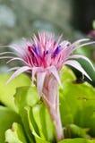 Bromeliácea cor-de-rosa Imagens de Stock