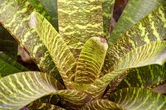 A bromeliácea deixa o nativo à floresta atlântica brasileira fotografia de stock