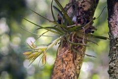 Bromeliácea verde florido Foto de Stock