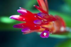 Bromeliácea vermelha florido Fotos de Stock Royalty Free