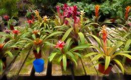 Bromeliáceas do berçário da planta Fotos de Stock Royalty Free
