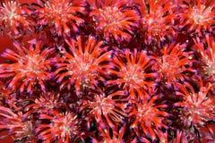 Bromeliáceas, Tillandsia Stricta Fotografia de Stock