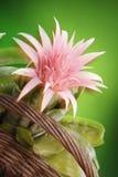 Bromelia Stock Afbeeldingen