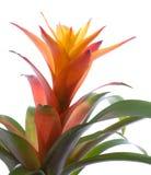 Bromelia Imagem de Stock