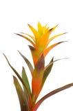 Bromelia royalty-vrije stock foto