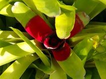 Bromelia Imagen de archivo libre de regalías
