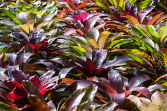 Bromelia Royalty-vrije Stock Afbeelding