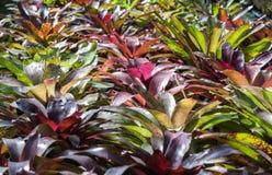 Bromelia Royalty-vrije Stock Fotografie