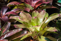 Bromelia Royalty-vrije Stock Foto's