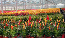 Bromelia Photos stock