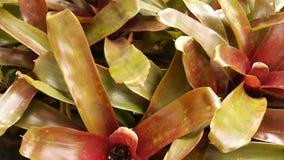 Bromelia Imagen de archivo