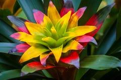 Bromelia Royaltyfria Bilder