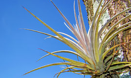Bromelia on a brunch. Detail of a bromelia on a brunch under beautiful blue sky royalty free stock images