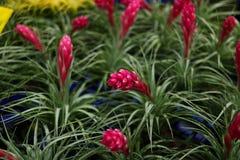 Bromelia in de tuin royalty-vrije stock fotografie