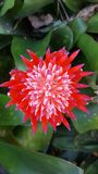 Bromelia dichte Omhooggaand Royalty-vrije Stock Foto