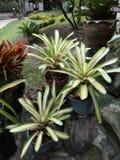 Bromelia en el rayong, Tailandia Imagenes de archivo