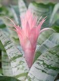 Bromelia (fasciata de Aechmea) Foto de archivo libre de regalías
