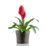 Bromelia Flower Stock Image
