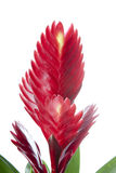 Bromelia Flower on white background Stock Photography