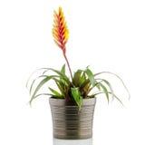 Bromelia Flower Stock Photography