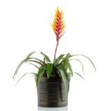 Bromelia Flower Stock Photo