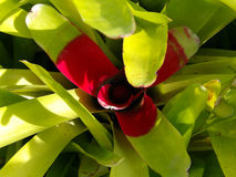 Bromelia Royalty Free Stock Image