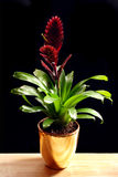 Bromelia in a golden pot Stock Image