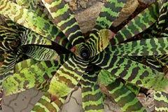 Bromelia, monocot bloeiende installaties inheems aan tropische Amerika royalty-vrije stock afbeelding