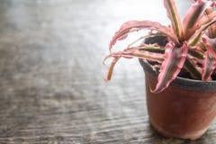 Bromelia multicolora en pote Foto de archivo libre de regalías