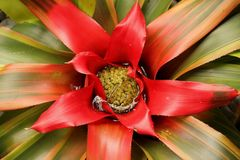 Bromelia neoregelia. The red colored leaves of a Bromelia neoregelia blooming in a garden in Florida, USA Royalty Free Stock Image