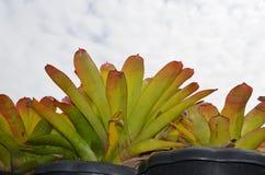 Bromelia och himmel Royaltyfri Foto