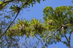 Bromelia op de boom wordt geplant die Boom voor tuindecoratie Detail van boombovenkant, met bromelia's die in zijn boomstam groei royalty-vrije stock afbeeldingen