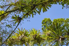 Bromelia op de boom wordt geplant die Boom voor tuindecoratie Detail van boombovenkant, met bromelia's die in zijn boomstam groei stock foto