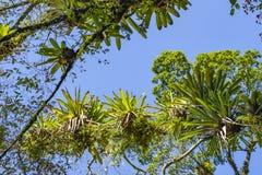 Bromelia op de boom wordt geplant die Boom voor tuindecoratie Detail van boombovenkant, met bromelia's die in zijn boomstam groei royalty-vrije stock foto's