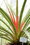 Bromelia plant Royalty Free Stock Photos