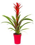 Bromelia plant in pot royalty free stock image