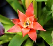 Bromelia roja Imagen de archivo libre de regalías