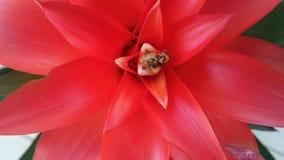 Bromelia roja de Guzmania Ligulata Imagen de archivo