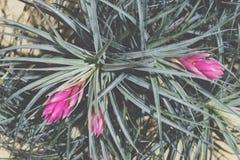 Bromelia rosada, oaxacana del Tillandsia Fotografía de archivo libre de regalías