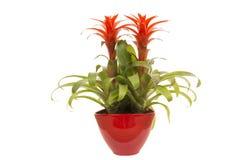 Bromelia rossa in vaso di fiore rosso Immagini Stock Libere da Diritti