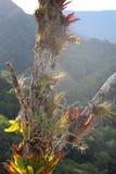 Bromelia's die op een boom in de wolken boswildernis groeien Royalty-vrije Stock Afbeelding